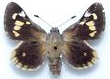 Hesperiidae_for_sale.png