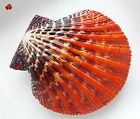 Pecten for sale