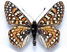 euphydryas for sale