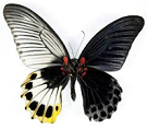 Gynandromorph butterfly for sale