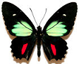 Parides for sale