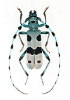 Rosalia Cerambycidae for sale