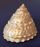 Calliostoma for sale