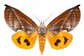 noctuidae-for-sale.png