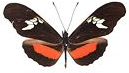 Heliconius for sale