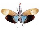 Fulgoridae Lanternfly for sale