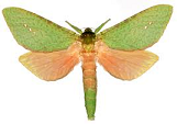 Hepialidae Aenetus for sale
