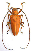 Cerambycidae for sale
