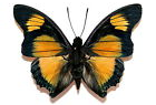 Charaxes for sale