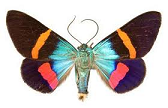 day-flying-moth-for-sale.png