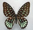 Graphium for sale